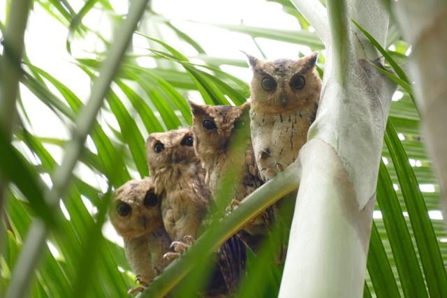 Indian Scops Owl @ Reef Villa & Spa